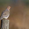 "Morning Dove <br />  <a href=""http://www.wklein.smugmug.com"">http://www.wklein.smugmug.com</a>"