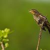 """Juvenile Red-winged black bird….i think?  <a href=""""http://www.wklein.smugmug.com"""">http://www.wklein.smugmug.com</a>"""