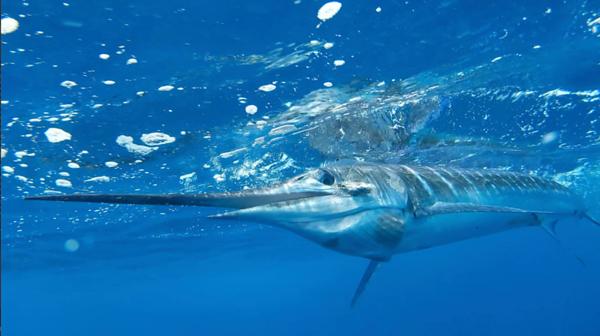 Stripped Marlin