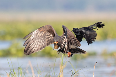 Grackle attacking a Snail Kite