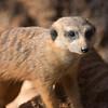 Meerkat at Brevard County Zoo