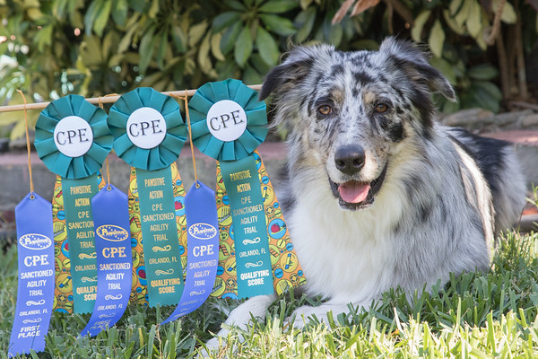 Indy's first Agility competition (Canine Performance Events)