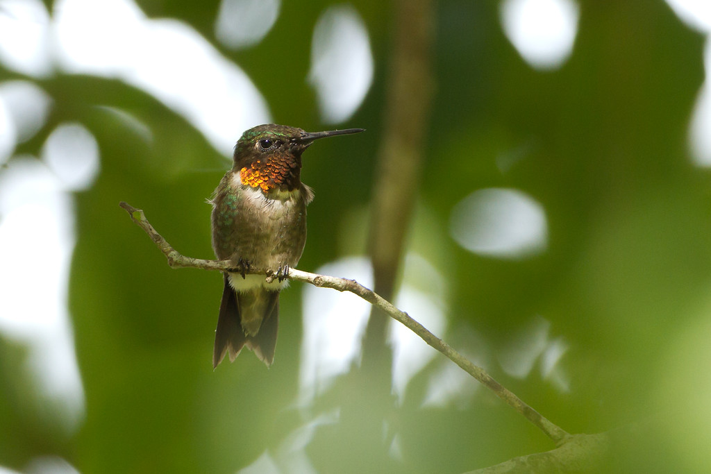 "Ruby-throated Humming bird  <a href=""http://www.wklein.smugmug.com"">http://www.wklein.smugmug.com</a>"