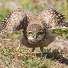 Young Burrowing owl stretching it's wings