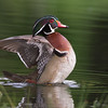 Wood duck www.wklein.smugmug.com