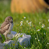 "Burrowing Owl, Cape Coral Florida  <a href=""http://www.wklein.smugmug.com"">http://www.wklein.smugmug.com</a>"