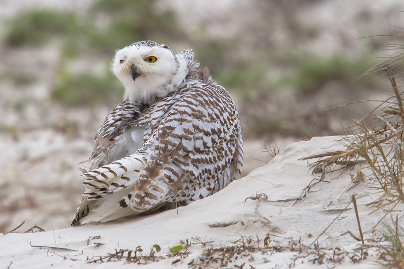 Snowy Owl…..what makes this one different is that this one is in Florida. The first warm front might have this little lady heading for some cooler climates.  www.wklein.smugmug.com