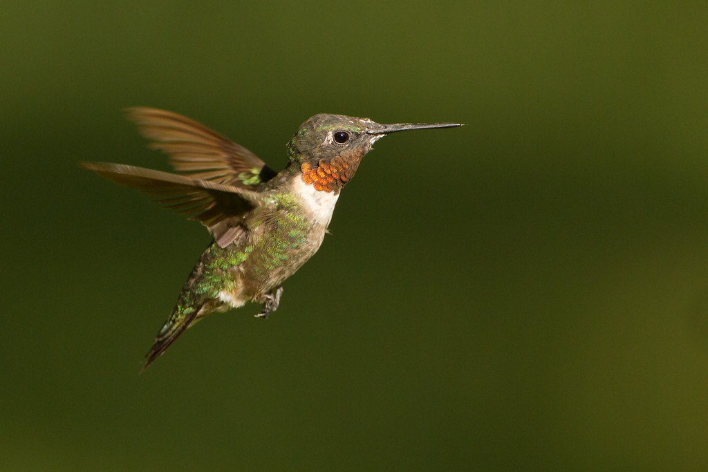 "Ruby-throated Hummingbird  <a href=""http://www.wklein.smugmug.com"">http://www.wklein.smugmug.com</a>"
