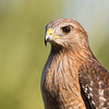 Red-Shouldered Hawk, Viera Floridawww.wklein.smugmug.com