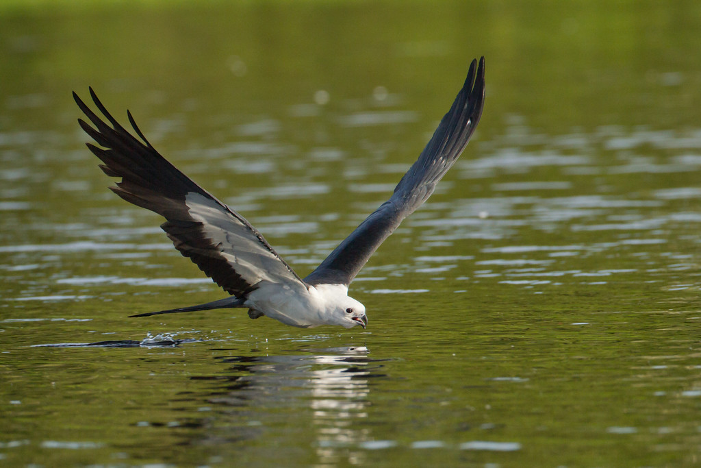 "Swallow-tail Kite Central Florida  <a href=""http://www.wklein.smugmug.com"">http://www.wklein.smugmug.com</a>"