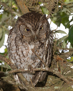 Adult female Screech owl