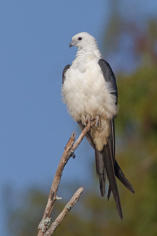 "Swallow-tail Kite  <a href=""http://www.wklein.smugmug.com"">http://www.wklein.smugmug.com</a>"