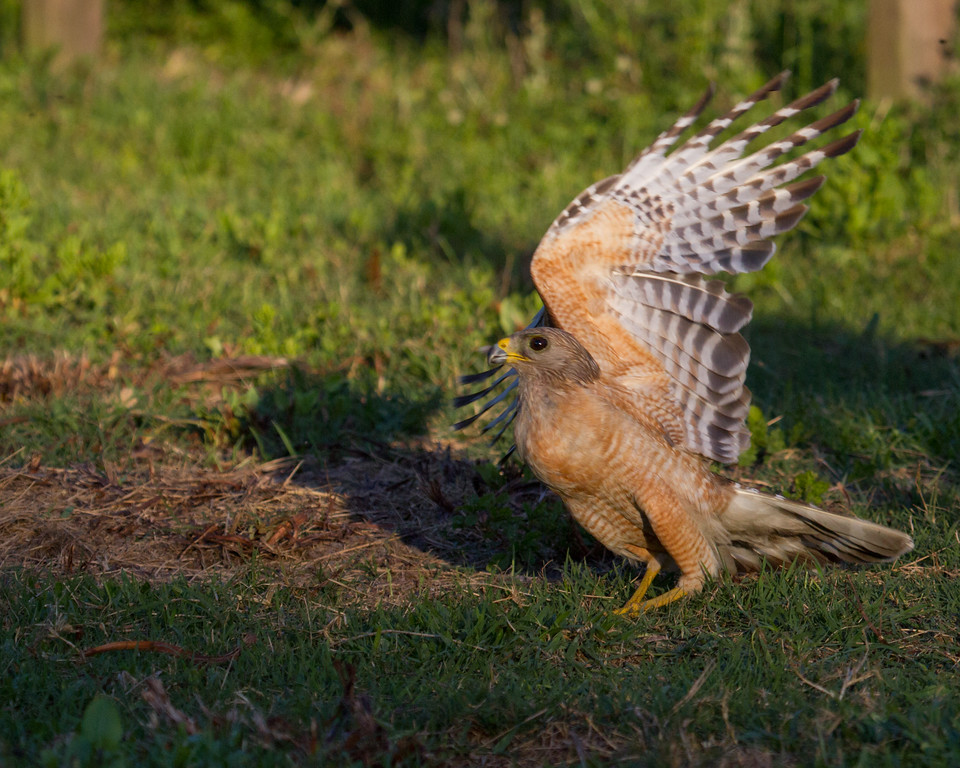 "Red-shouldered hawk  <a href=""http://www.wklein.smugmug.com"">http://www.wklein.smugmug.com</a>"
