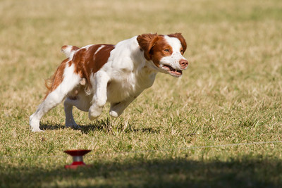 "Brittany Spaniel doing Lure Coursing ""Woof it up in the park""  www.wklein.smugmug.com"