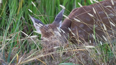 Short Video of a very cut Fawn grazing at Viera Wetlands http://wklein.smugmug.com/browse