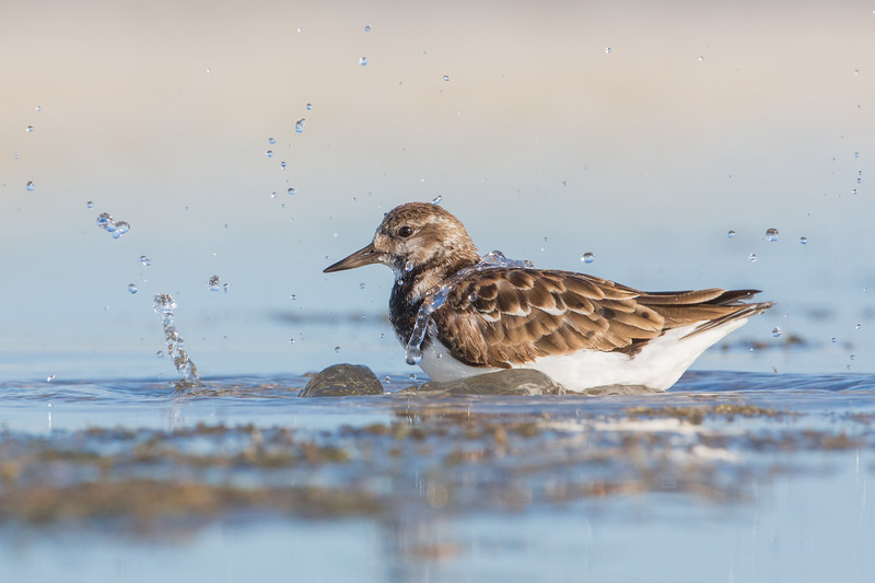 Bathing Ruddy Turnstone - Marco Island Florida. Canon 5D 500mm 1.4x (700mm) 1/1600 f14 ISO 1600 Thanks for your comments! www.wklein.smugmug.com