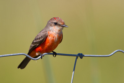 Vermillion Flycatcher - This is a rare sighting here in central florida. A first for me! With in 5 minutes of finding this fella and also found a Scissor-tailed Flycatcher. Another first!  See Scissor-tailed here http://wklein.smugmug.com/Birds/Recent/i-2SV7mfp