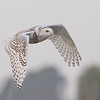 "Snowy Owl…..what makes this one different is that this one is in Florida. The first warm front might have this little lady heading for some cooler climates. <br />  <a href=""http://www.wklein.smugmug.com"">http://www.wklein.smugmug.com</a>"