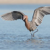 Reddish Egret running down his lunch. Marco Island Florida. Canon 5D 500mm 1.4x (700mm) 1/2000 f10 ISO 1000 www.wklein.smugmug.com