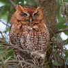Adult male Screech owl (red morph