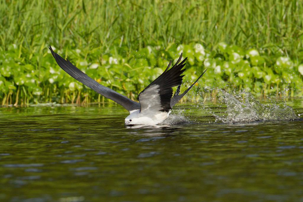 "Swallow-tailed Kite  Central Florida  <a href=""http://www.wklein.smugmug.com"">http://www.wklein.smugmug.com</a>"