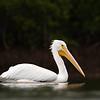 "American White Pelican -- Taken at Fort De Sota, Florida<br />  <a href=""http://www.wklein.smugmug.com"">http://www.wklein.smugmug.com</a>"