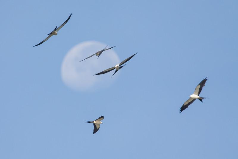 Swallowed-tailed kites
