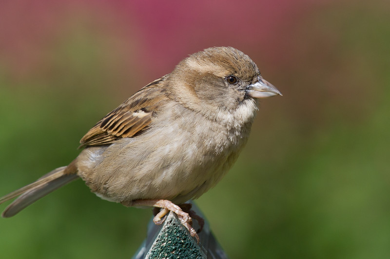Took this one on my resent trip to Epcot. Could not resist snapping a shot of this Sparrow with the nice floral background. Canon 7D w/ 100-400mm