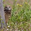 """Burrowing Owlet  <a href=""""http://www.wklein.smugmug.com"""">http://www.wklein.smugmug.com</a>"""
