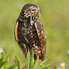 """Burrowing Owl, Cape Coral Florida  <a href=""""http://www.wklein.smugmug.com"""">http://www.wklein.smugmug.com</a>"""