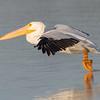 "American White Pelican<br />  <a href=""http://www.wklein.smugmug.com"">http://www.wklein.smugmug.com</a>"