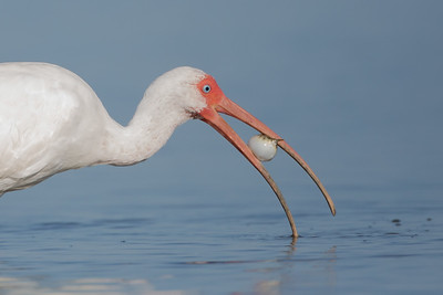 Ibis vs Blowfish