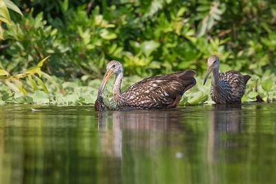 Limpkin snack time