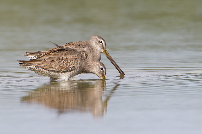 Longbilled -Dowitcher I think?  www.wklein.smugmug.com