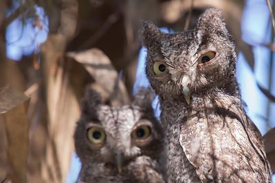 Young screech owls