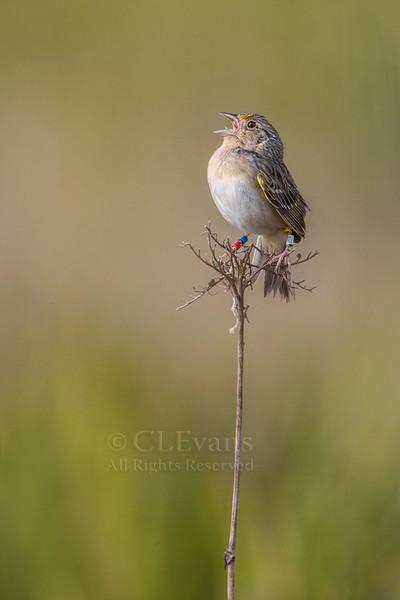Florida Grasshopper Sparrow singing<br /> <br /> Endangered male Florida Grasshopper Sparrow (Ammodramus savannarum floridanus) singing on territory in Kissimmee Prairie Preserve, Okeechobee County, Florida.