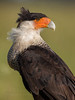 Crested Caracara portrait, full crop