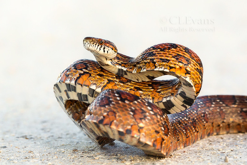 Red Rat or Corn Snake (Pantherophis guttatus) in a defensive posture. Making itself look too big to eat!