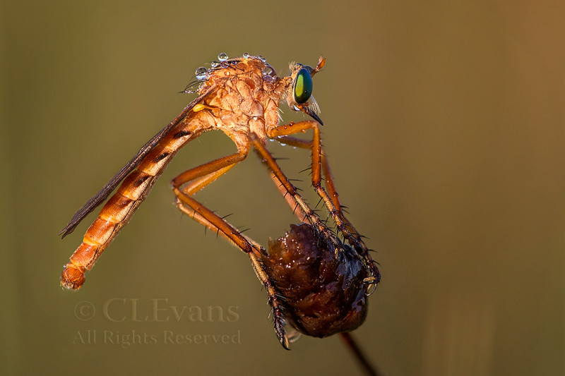 Diogmites Robberfly