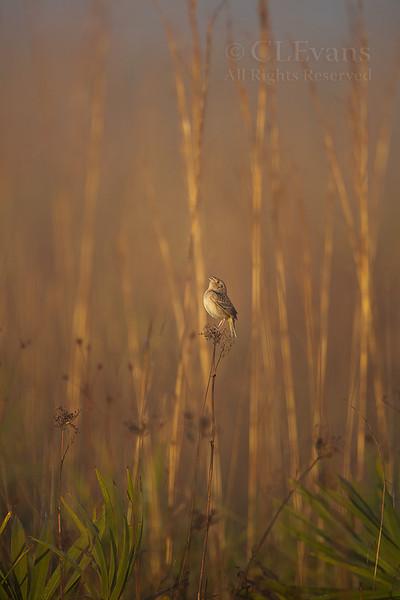 Florida Grasshopper Sparrow in his environment