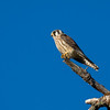 American Kestrel - species 169 .   After a total no show by any raptors at East Sooke Park I was really happy to catch a few quick pics of this juvenile American Kestrel over Metchosin.  It was a distant shot but considering it has taken till Mid-September to finally see one I will take it.   A species I normally come across a few times a year but have come up empty handed at most of the usual spots.