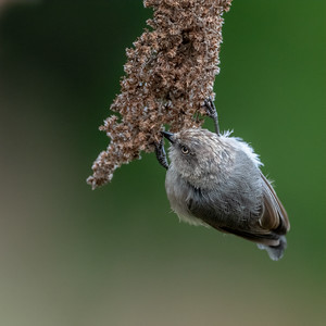 Bushtit Pacific, Female