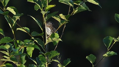 Northern Pygmy Owl our 1st close encounter of this summer.