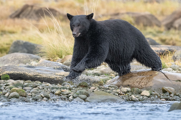 400LBS of Bear moving fast.