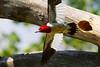 Red Headed Woodpecker in Flight