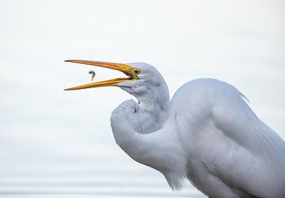 Hungry Great Egret II
