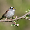 White-throated Sparrow with apple blossoms