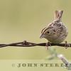 Grasshopper Sparrow, near El Dorado Hills, CA; 4 May 2016
