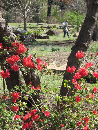 Staff photo by Cathy Spaulding<br /> Azalea bushes bloom while a Muskogee Parks and Recreation Department employee kills weeds at Honor Heights Park on Monday. Azaleas and other plants are blooming early.