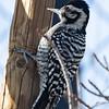 Ladder-backed Woodpecker, Lake Los Angeles, CA, 9 January 2021